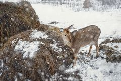 Young beautiful deer in winter snowy woods at the trough with hay. Royalty Free Stock Photos
