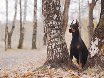 Young beautiful doberman and malinois dog walking in park in summer sunny holiday stock images