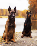 Young beautiful doberman and malinois dog walking in park in summer sunny holiday. Young beautiful black doberman and red malinois dog walking running sitting in Royalty Free Stock Image
