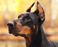 Young beautiful doberman and malinois dog walking in park in summer sunny holiday. Young beautiful black doberman and red malinois dog walking running sitting in Stock Images