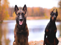 Young beautiful doberman and malinois dog walking in park in summer sunny holiday. Young beautiful black doberman and red malinois dog walking running sitting in Stock Image