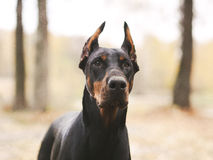 Young beautiful doberman and malinois dog walking in park in summer sunny holiday. Young beautiful black doberman and red malinois dog walking running sitting in Royalty Free Stock Images