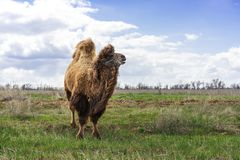 Young beautiful domesticated camel grazing in pasture in summer.  royalty free stock image
