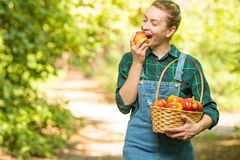 Young beautiful farm girl biting a fresh apple. The concept of summer or autumn harvest. With empty space for writing.  stock photography