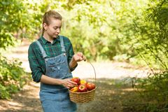 Young beautiful farm girl is harvesting apples. The concept of summer or autumn harvest. With empty space for writing.  royalty free stock photography