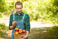 Young beautiful farm girl is harvesting apples. The concept of summer or autumn harvest. With empty space for writing.  stock images