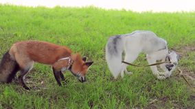 Young beautiful foxes outdoor run in park in summer closeup. Two animals possess a natural hunting instinct as in natural wildlife. These mammals are domestic stock footage
