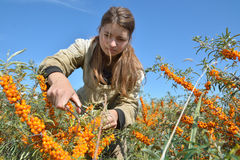 Young beautiful girl collects buckthorn Stock Photography