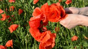 Young beautiful girl weaves a bouquet of poppies with a poppy field on a sunny summer day stock footage