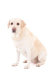 Young beautiful golden retriever sitting isolated on white Stock Photography