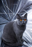 Young beautiful gray British cat Royalty Free Stock Photos
