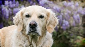Head Shot of golden retreiver dog in front of wisteria vines. Young beautiful  head shot of golden retriever looking forward in front of purple wisteria vine Royalty Free Stock Photography