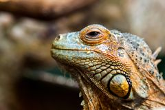 A young beautiful iguana stock image