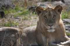Young, beautiful lioness lying in the savanna and looking in the eye Stock Images