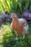 Nice chicken in flower garden royalty free stock photos
