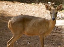 The young beautiful roe in the jungle of India. India Goa. Sika deer in jungls of India Goa Royalty Free Stock Image