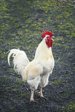 Young beautiful rooster sings at dawn standing on the green grass Royalty Free Stock Images