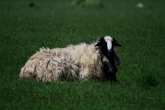 Young and beautiful sheep with a lot of wool lying on the meadow Stock Photos
