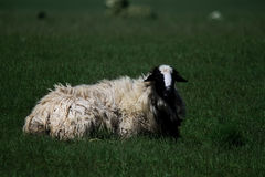 Young and beautiful sheep with a lot of wool lying on the meadow Royalty Free Stock Photos
