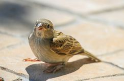 Young beautiful sparrow. On concrete Stock Photography
