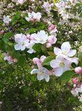Appletree flowers. Young and beautiful spring flowers Stock Images
