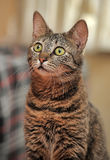 Young beautiful striped Shorthair cat Stock Photography