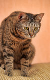 Young beautiful striped Shorthair cat Royalty Free Stock Photo