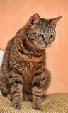 Young beautiful striped Shorthair cat Royalty Free Stock Photos
