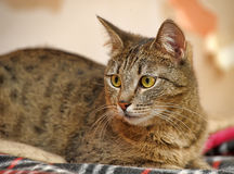 Young beautiful striped Shorthair cat Stock Photo