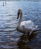 young beautiful swan stock images