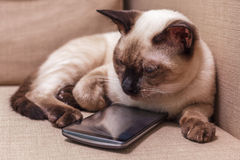 Young beautiful Thai cat lying on the couch and playing with a mobile phone Stock Image