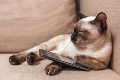 Young beautiful Thai cat lying on the couch and playing with a mobile phone. Royalty Free Stock Photo