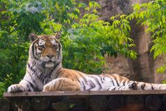 Young beautiful tiger is lying in a zoo and sad stock photography