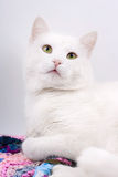 Young beautiful white cat Royalty Free Stock Images