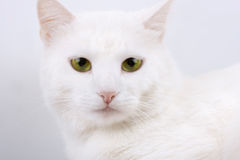 Young beautiful white cat Stock Photos