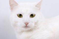 Young beautiful white cat Stock Photos