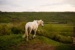 Young Beautiful White Horse In The Wild. royalty free stock images