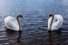 Young beautiful white swan stock photo