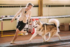 Young beautiful woman and alaskan malamute dog Royalty Free Stock Image