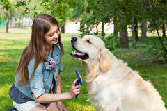 Young beautiful woman combing fur golden retriever dog on a green lawn. The content of Labrador. A young girl cares for dog fur outdoors. The owner of a pure Stock Photography
