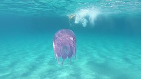 A young beautiful woman filmed in slow motion underwater swims in a transparent blue with a Rhizostoma pulmo, commonly known as. Barrel jellyfish, dustbin-lid stock video footage