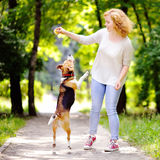Young beautiful woman playing with Beagle dog. In the summer park Stock Photography