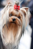 Young beautiful yorkshire terrier portrait Stock Image
