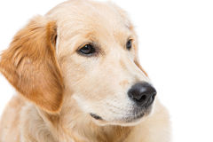Young beautiul golden retriever dog. Closeup shote of young beautiul golden retriever dog face and eyes. Isolated over white background. Copy space Stock Photos