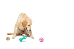 Young beautiul golden retriever dog. Playing with rubber puppy toys. Isolated over white background. Copy space Royalty Free Stock Image