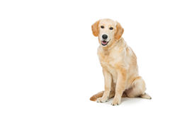 Young beautiul golden retriever dog Stock Image