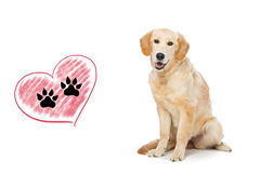 Young beautiul golden retriever dog. Sitting. Paws print drawing in heart shape. Isolated over white background. Copy space Stock Images