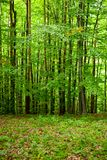 Young beech forest Stock Photo
