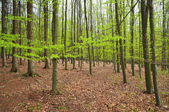 Young beech forest Stock Images