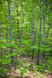 Young beech forest Royalty Free Stock Image